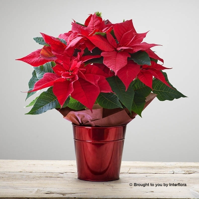 Crimson Poinsettia Star Tin